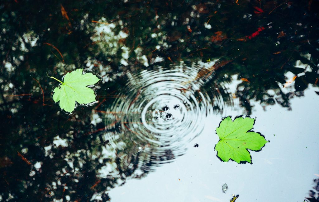 Ripples in the surface of a pond reflecting a maple tree